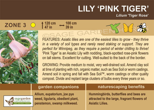 Lily, Asiatic 'Pink Tiger' (Live Plant)