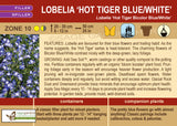 Lobelia 'Hot Tiger Bicolor Blue/White' (Live Plant)