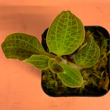 Jewel Orchid - Live Plant