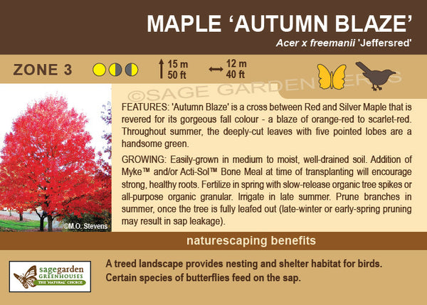 Maple 'Autumn Blaze' (Live Plant)