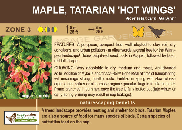 Maple, Tatarian 'Hot Wings' (Live Plant)