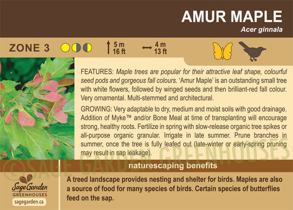 Maple 'Amur' (Live Plant)