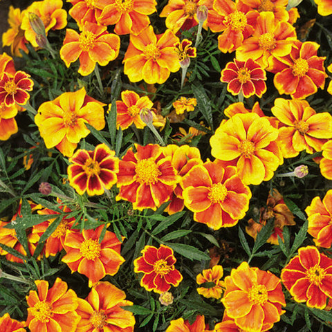 Seeds - Marigold, Red Marietta