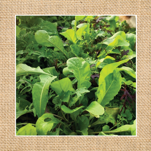 Seeds - Salad Mix, Mighty Spicy Fruition Mesclun OG