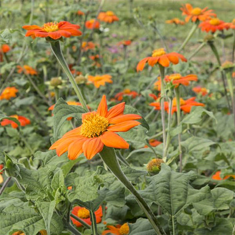 Seeds - Mexican Sunflower (Tithonia rotunfifolia) OG