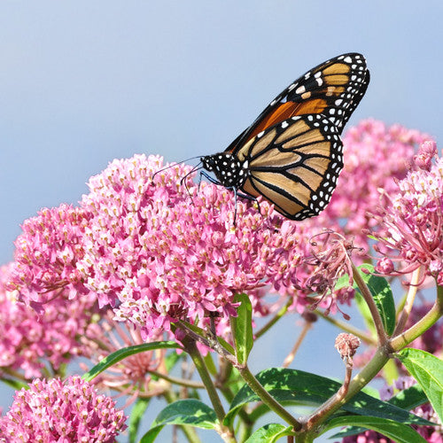 Monarch Butterfly on milkweed flowers at Sage Garden