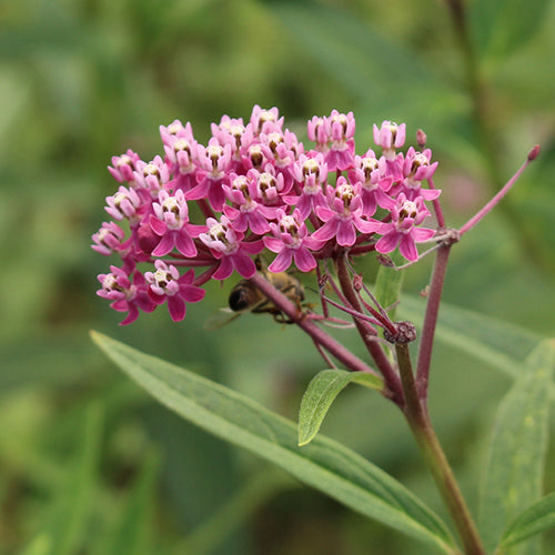 Seeds - Milkweed, Swamp (Locally Grown)
