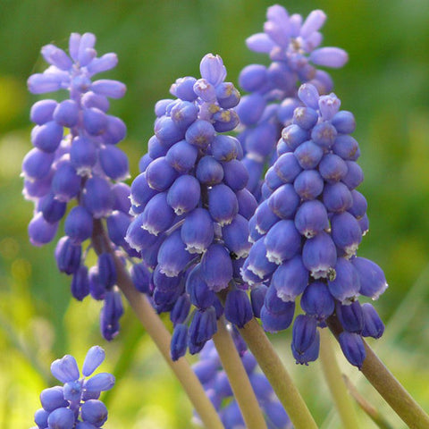 Bulbs - Muscari 'Armeniacum' OG