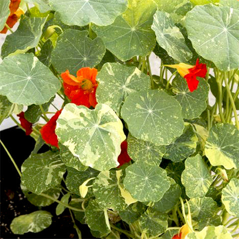 Seeds - Nasturtium, Alaska Mix (Variegated) OG