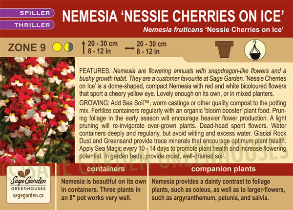 Nemesia 'Nessie Cherries on Ice' (Live Plant)