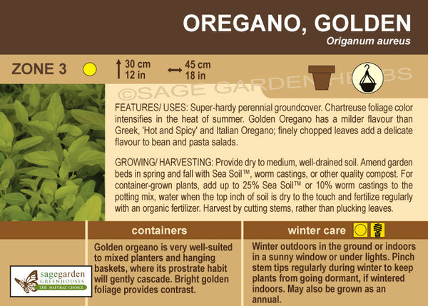 Oregano 'Golden' (Live Plant)