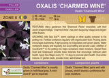 Oxalis 'Charmed Wine' (Live Plant)