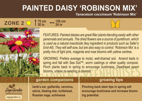 Painted Daisy 'Robinson Mix' (Live Plant)