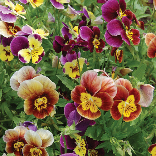 Seeds - Pansy, Historic Mix