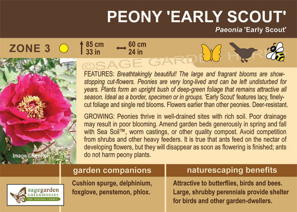 Peony 'Early Scout' (Live Plant)