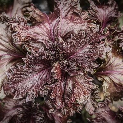 Seeds - Perilla, Plum (Purple Shiso) OG