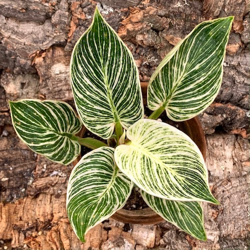 Philodendron Birkin - Perfect Variegation - Live Plant