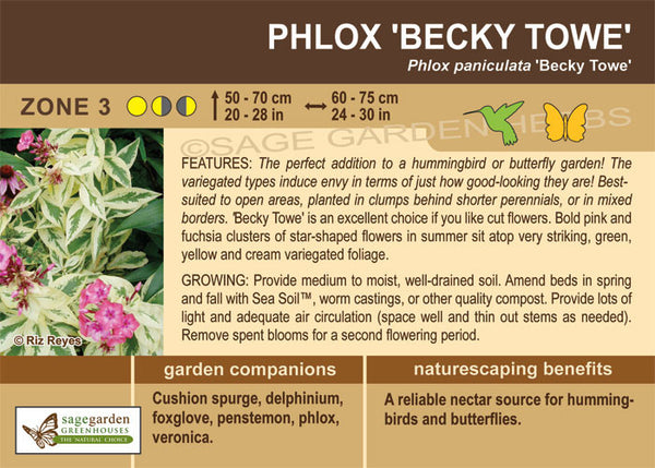Phlox 'Becky Towe' (Live Plant)