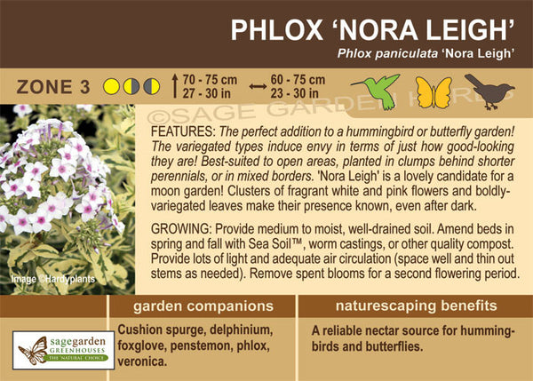 Phlox 'Nora Leigh' (Live Plant)