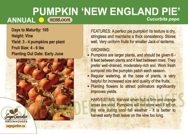 Pumpkin 'New England Pie' (Live Plant)