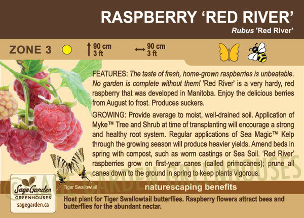 Raspberry 'Red River' (Live Plant)