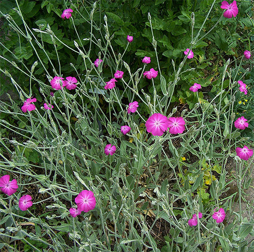 Seeds - Rose Campion OG