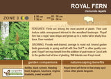 Fern, Royal (Live Plant)