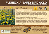 Rudbeckia 'Early Bird Gold' (Live Plant)