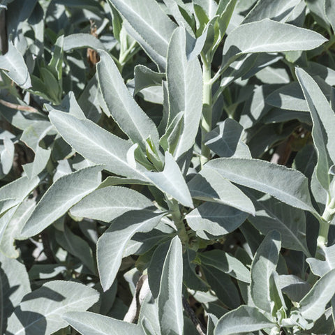 Seeds - Sage, White (California)