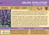 Salvia 'Evolution' (Live Plant)