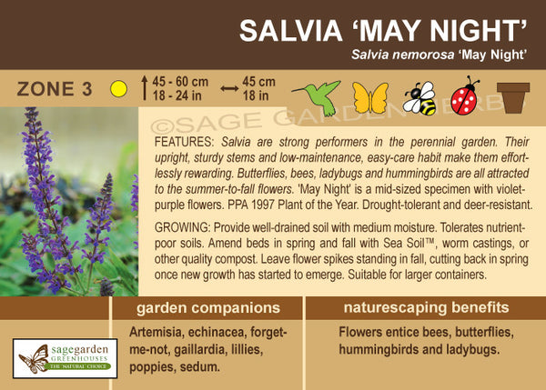 Salvia 'May Night' (Live Plant)