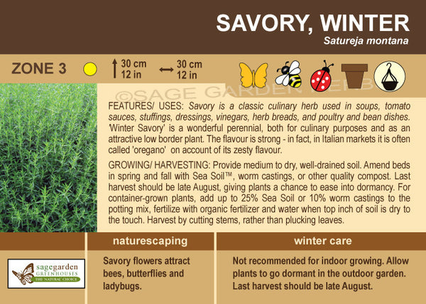 Savory 'Winter' (Live Plant)