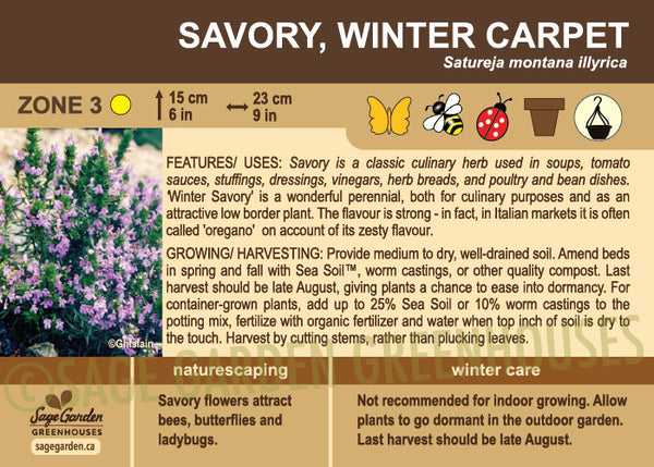 Savory, Winter Carpet (Live Plant)