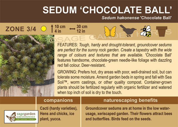 Sedum 'Chocolate Ball' (Live Plant)