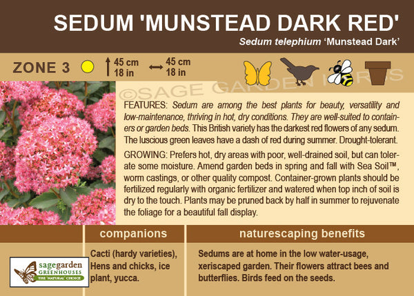 Sedum 'Munstead Dark Red' (Live Plant)