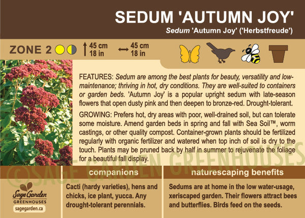 Sedum 'Autumn Joy' (Live Plant)
