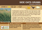 Side Oats Grama (Live Plant)