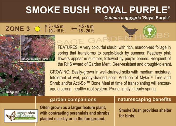 Smoke Bush 'Royal Purple' (Live Plant)