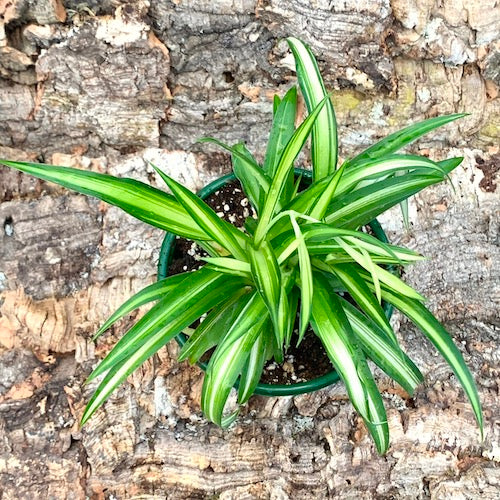 Spider Plant Golden Variegated - Live Plant