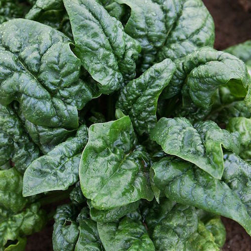 Spinach, Abundant Bloomsdale  Organic Seeds