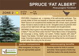 Spruce 'Fat Albert' (Live Plant)
