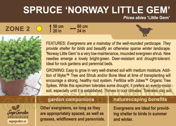 Spruce 'Norway Little Gem' (Live Plant)