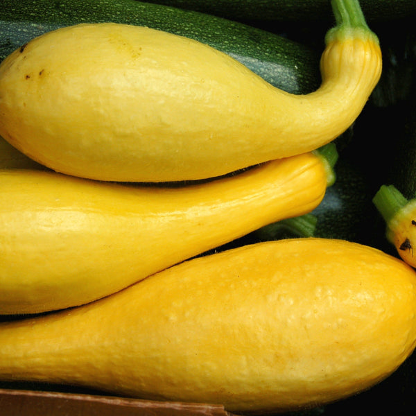 Organic Yellow Crookneck Summer Squash