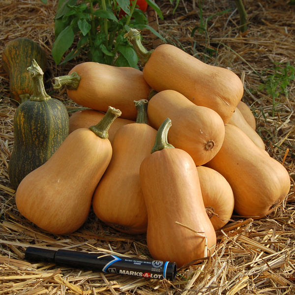 Organic Honey Nut Butternut Winter Squash