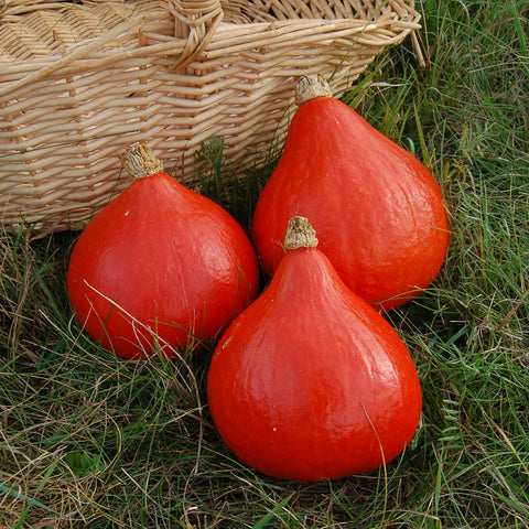 Organic Red Kuri Winter Squash