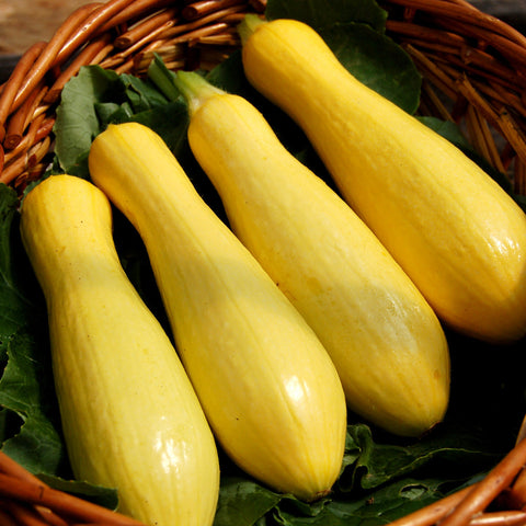 Organic Success PM Straightneck Summer Squash