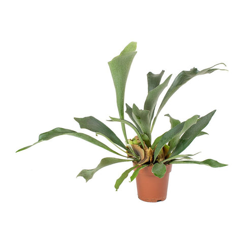 Staghorn Fern + Mounting Panel - March 2, 2019 Garden Club
