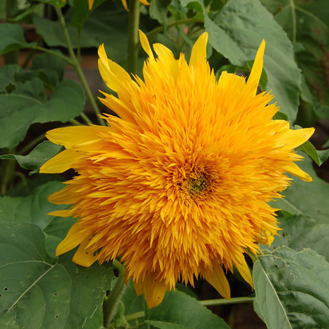 Organic Goldy Sunflower