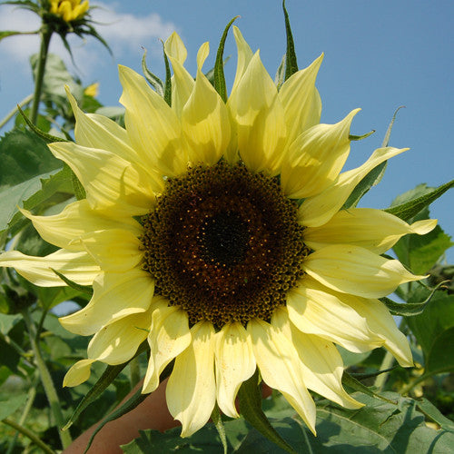 Organic Lemon Queen Sunflower