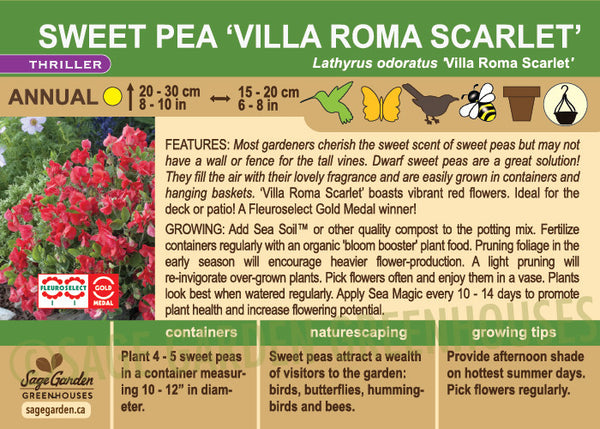 Sweet Pea 'Villa Roma Scarlet' (Live Plant)
